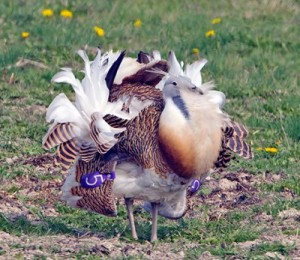 YOU MAGNIFICENT BUSTARD. (Photo by Dave Kjaer)