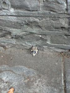 Walking to work this morning, I saw this on the sidewalk. This is a baby birdy bum sticking out into the street. He has stuffed his tiny head into this tiny hole in the stone wall.