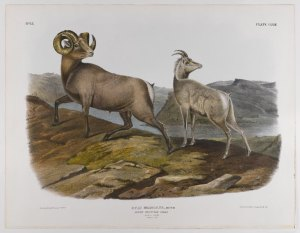 Audobon's Rocky Mountain Sheep