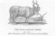 sheep1805